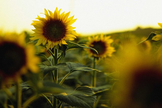 champ-tournesol-campagne-couche-soleil