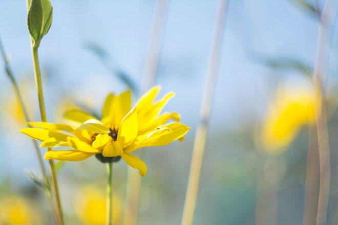 fleur-jaune-petales-printemps-ete